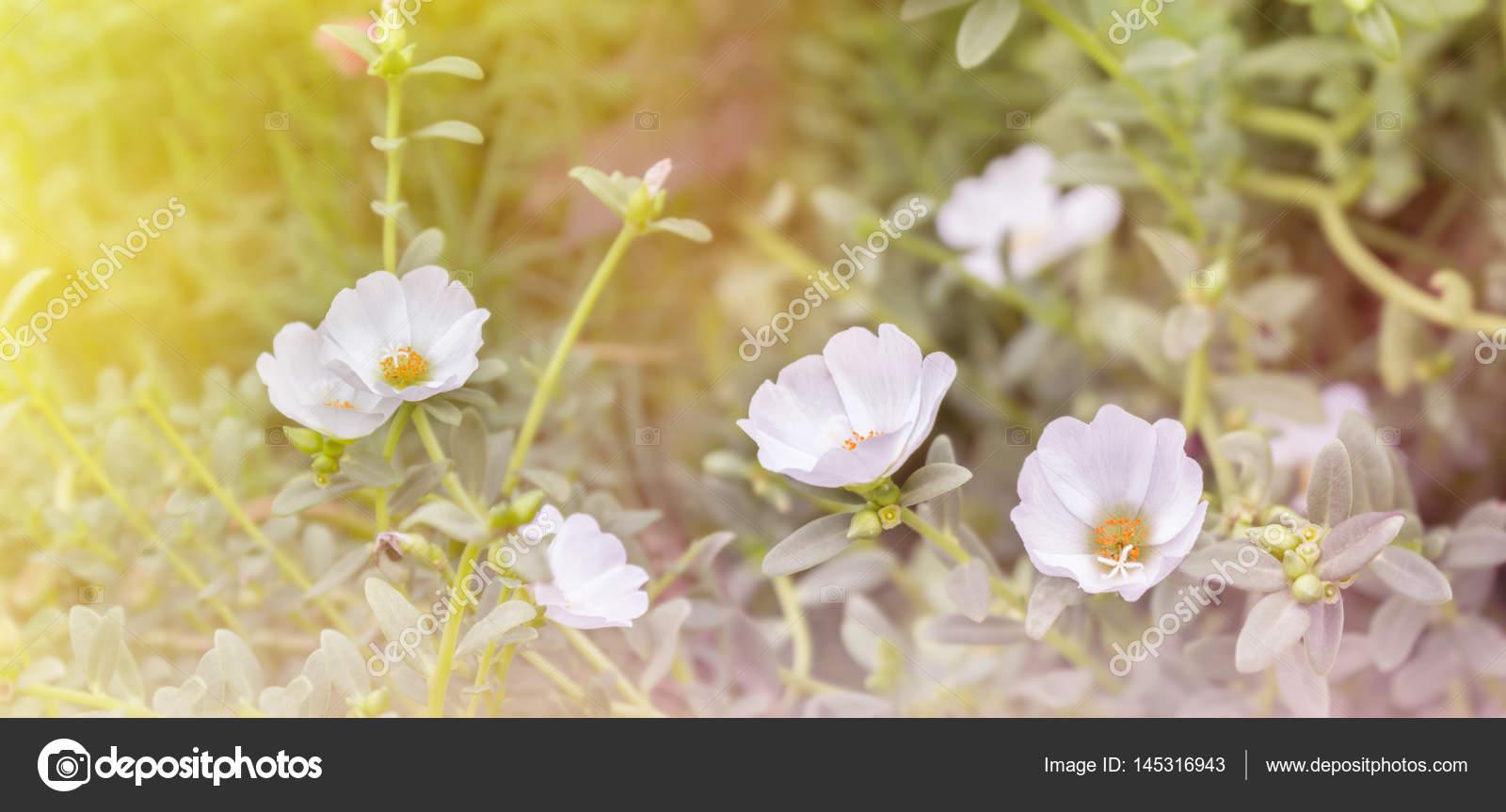 Belle Mosss Rose Le Pourpier Ou Soleil Plante Fleur Blanche En Reve