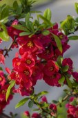Fotografie On a branch of Japanese quince, flowers blossomed