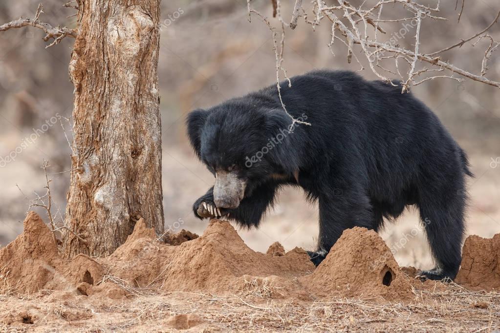 Big beautiful sloth bear