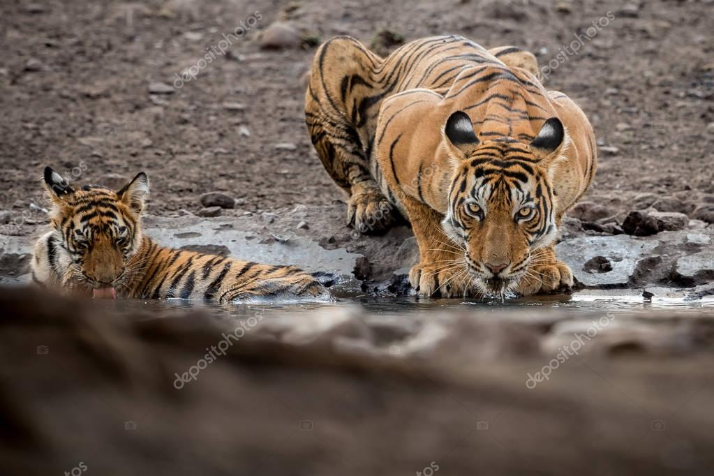 Tiger female and her cub