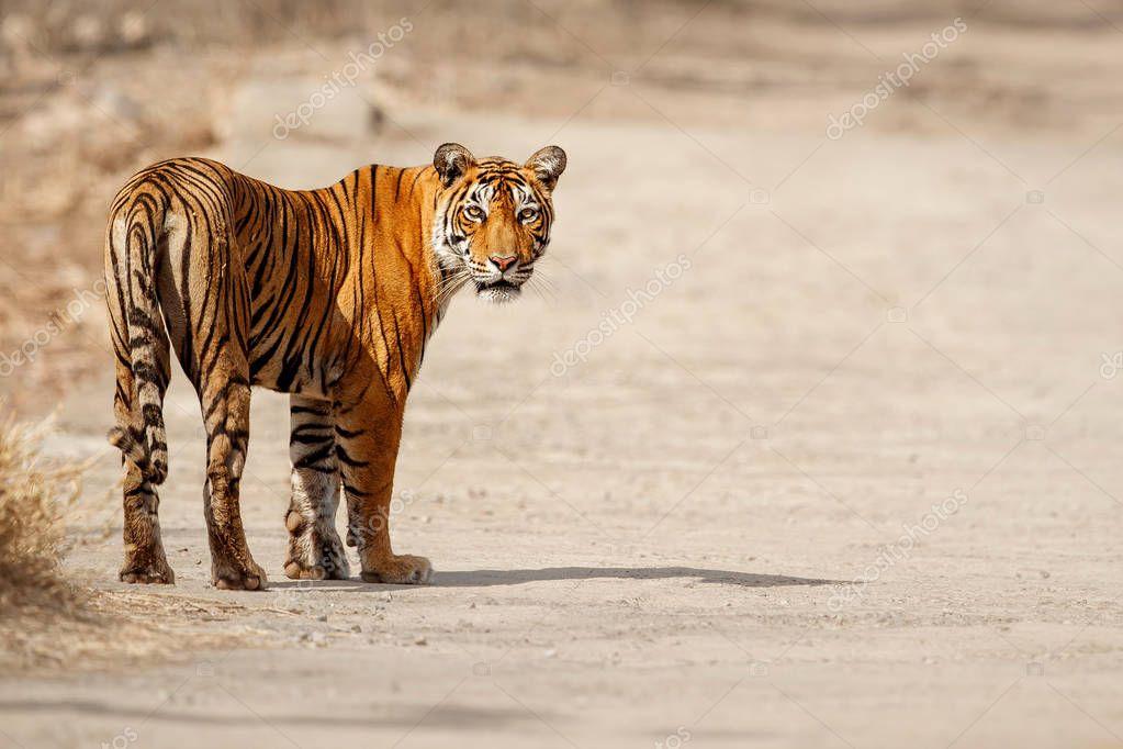Tiger in the nature habitat