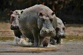 Fotografia Ippopotami nellhabitat della bellezza della natura