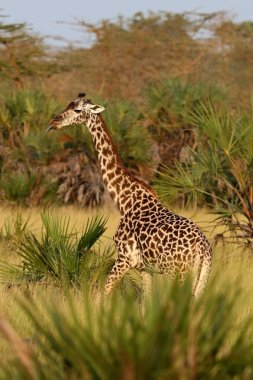 Giraffe in the beautiful nature habitat