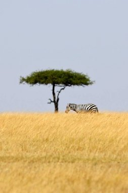 Zebra with baobab tree in the nature habitat