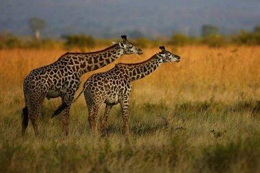 Giraffes in the beautiful nature habitat