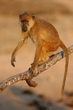 hoolock gibbon high on a tree
