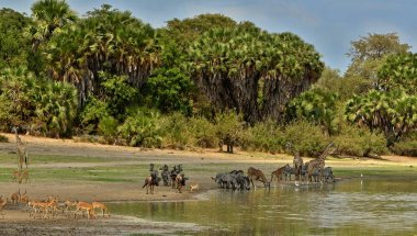 Great migration in Masai Mara, Kenya, Tanzania