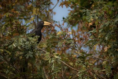 Beautiful endangered great hornbill on a tree