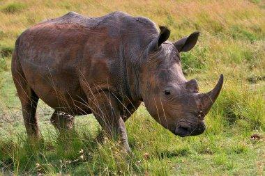 Rhino very close from photographer