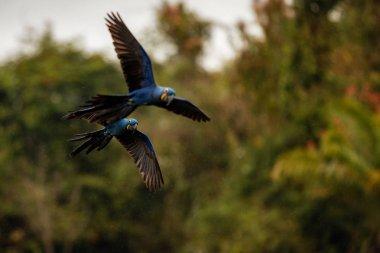 hyacinth macaws parrots