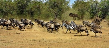 Great migration in Masai Mara
