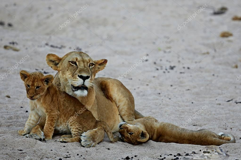 Lioness And Cubs in nature habitat