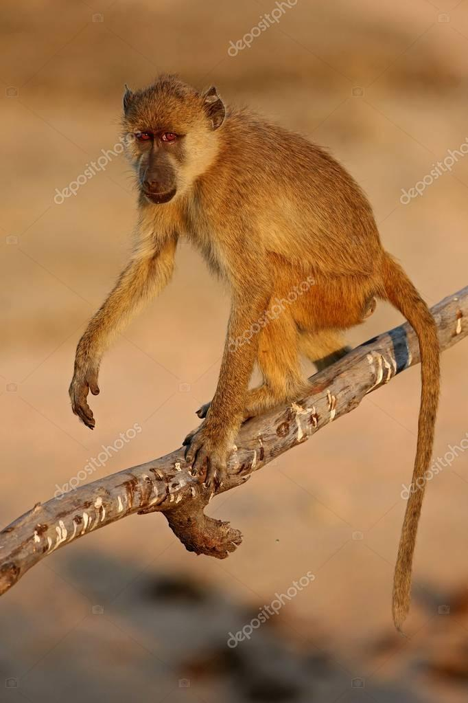 hoolock gibbon high on a tree