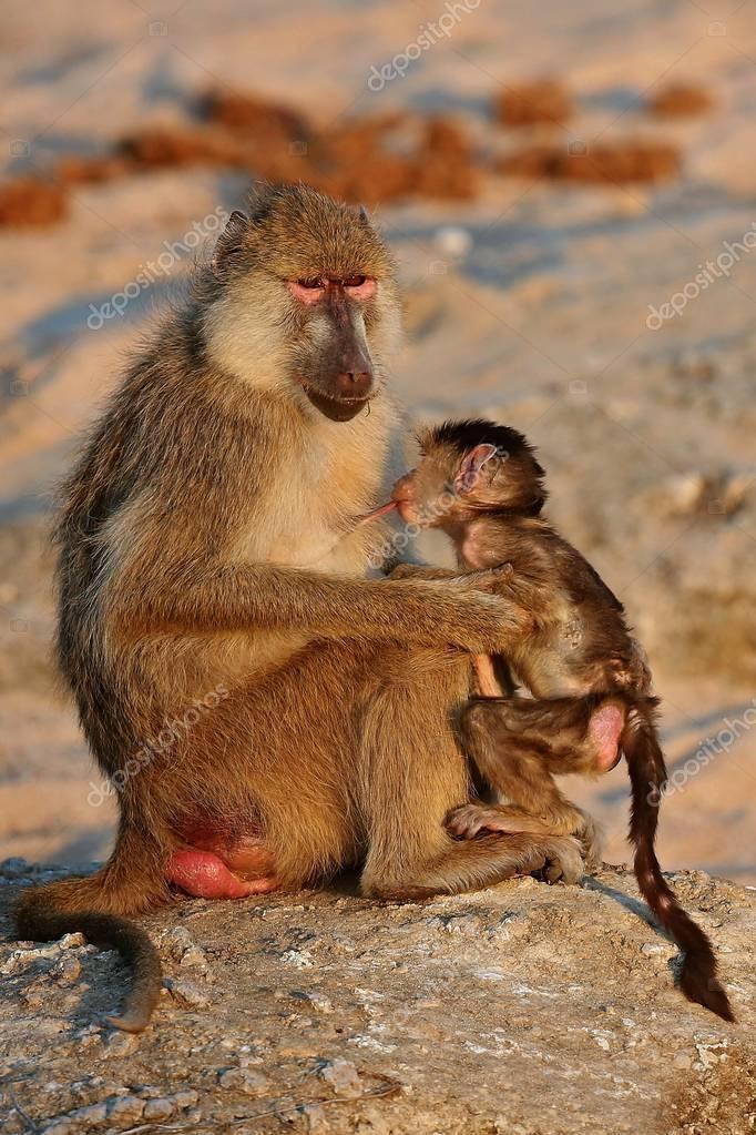 baboon monkey with little baby