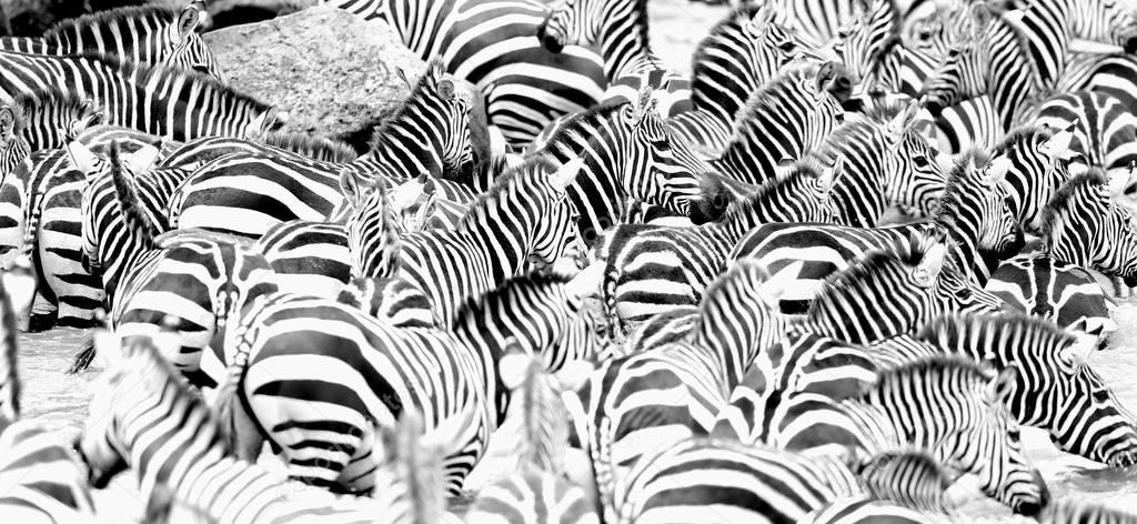 Zebras in the big herd during the great migration in masai mara