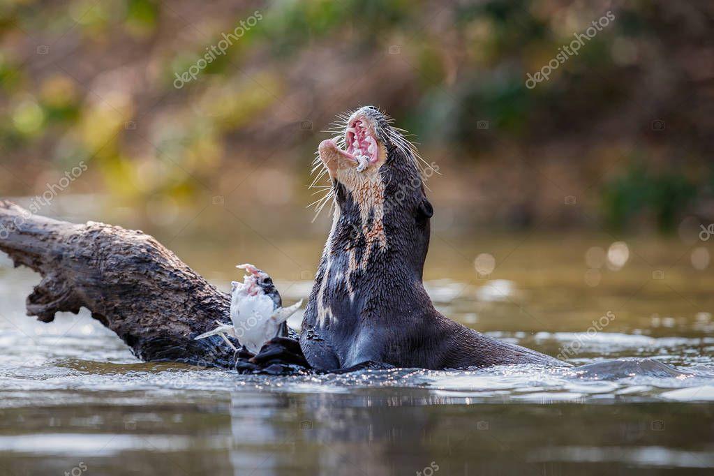 Giant river otter feeding in the nature habitat