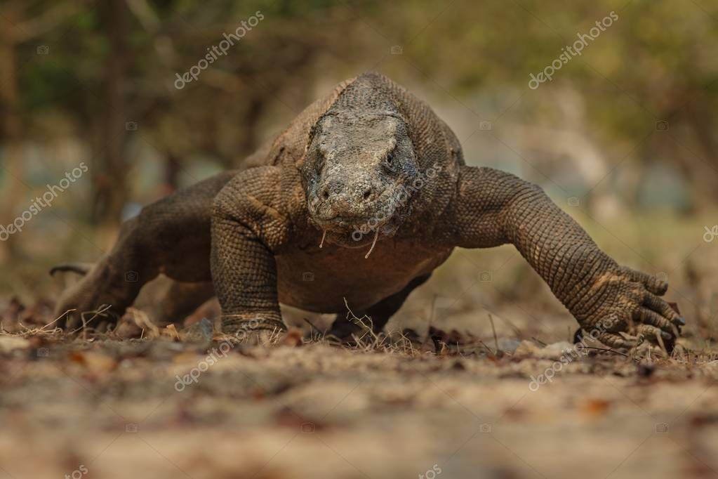Komodo dragon in the beautiful nature habitat