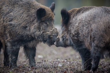 Two big wild boars