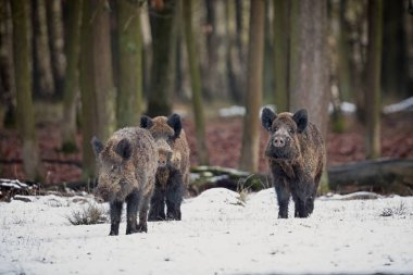 Wild boar piglet brothers in the european forest
