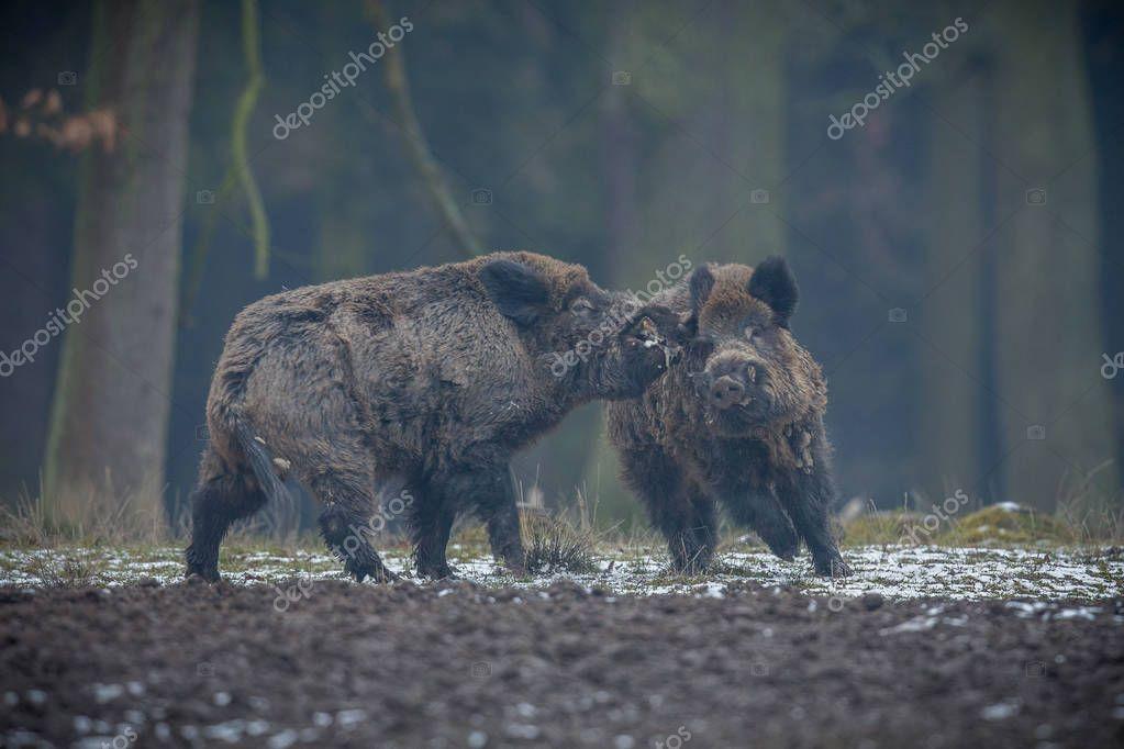 Two big wild boars