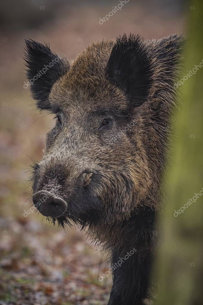Big wild boar in the european forest