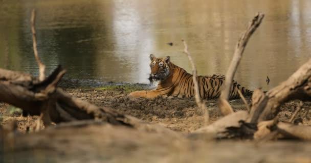 Tiger férfi a vizet