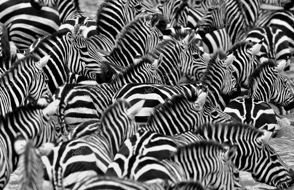 Zebras in the big herd during the great migration