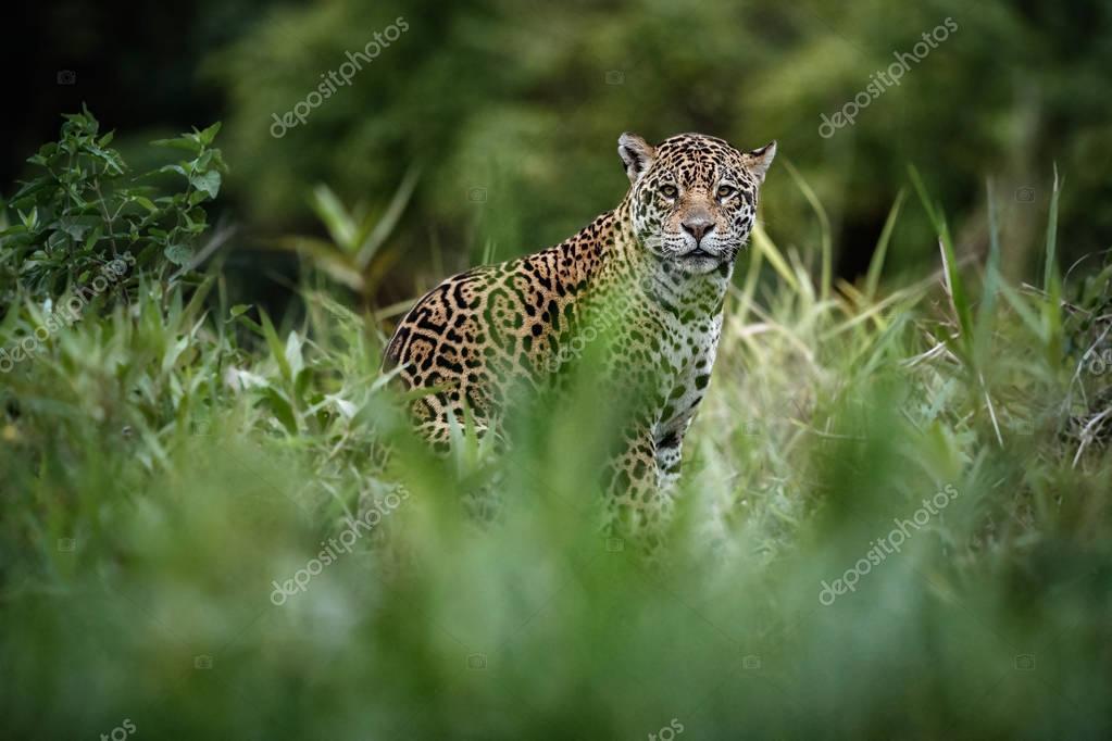 American jaguar in the nature habitat