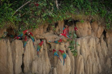 colorful parrots in natural habitat