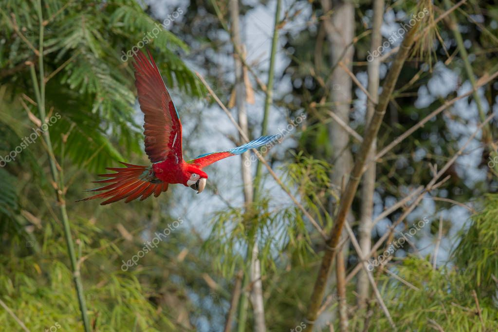macaw fly in the nature habitat