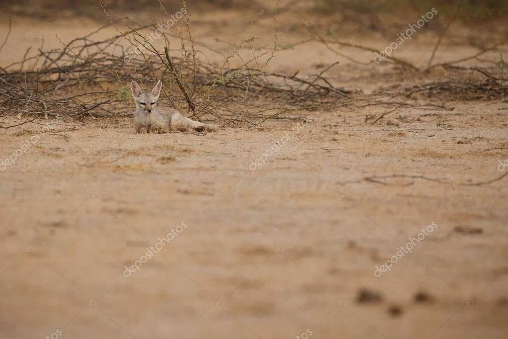 desert fox in little rann of kutch