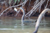 uccello del pantanal pesca
