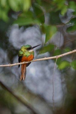 Rufous-tailed Jacamar on a tree in the nature habitat
