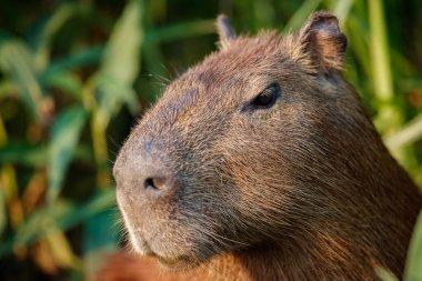 capybara in the nature habitat of northern pantanal