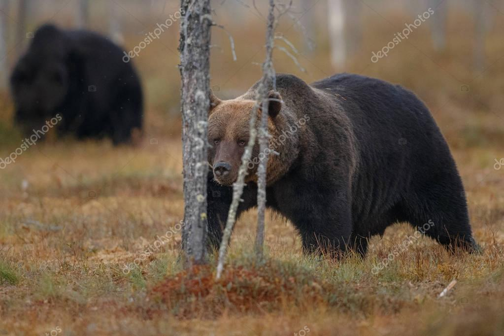 Brown bears in the nature habitat
