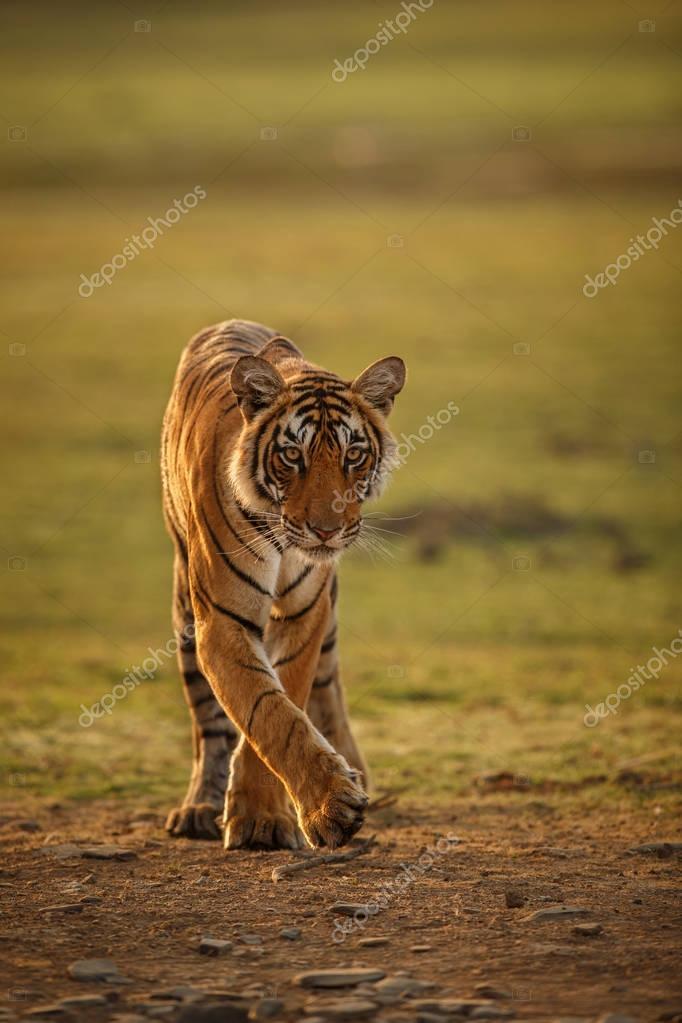 Tiger in a beautiful golden light