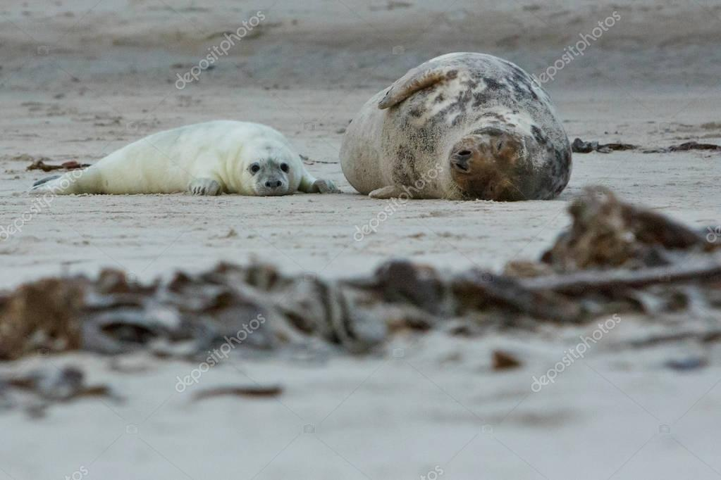 seals on the beach on dune island