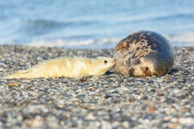 seals on the beach on dune island