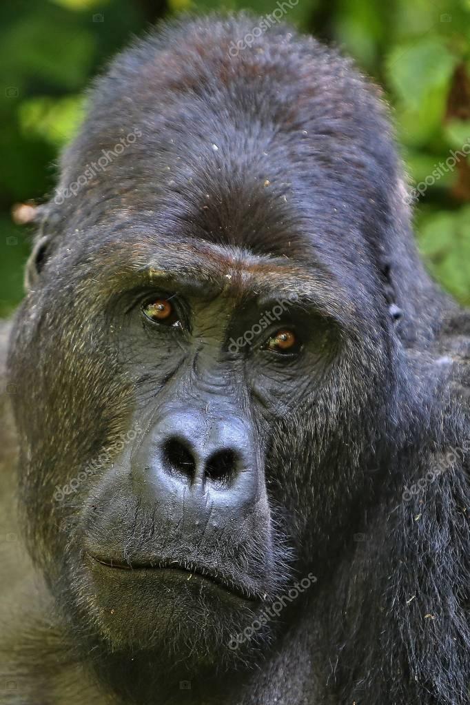 Endangered eastern gorilla, rare african wildlife