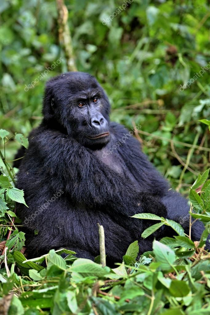 Endangered eastern gorilla in the beauty of african jungle