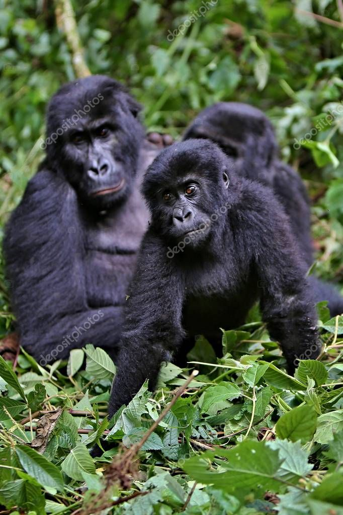 Endangered eastern gorillas