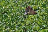 Fotografie Flying Fox in the african nature habitat