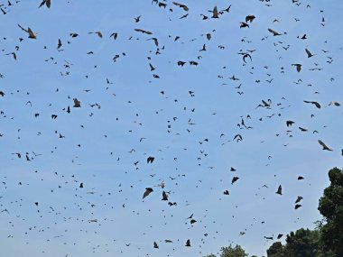 Flock of flying Foxes on a blue sky