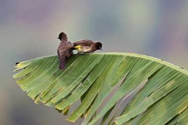 Bulbul birds on a green leaf