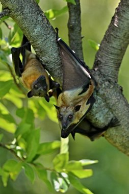 Flying Foxes on a green tree