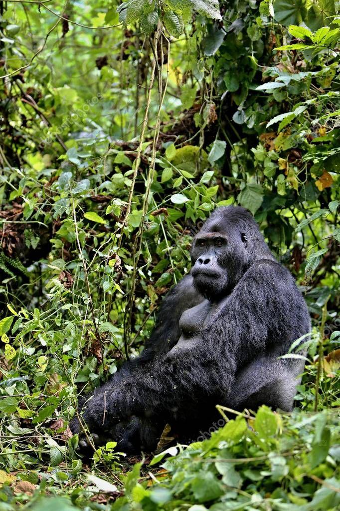 Endangered eastern gorilla