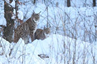 Euroasian lynx in the bavarian national park