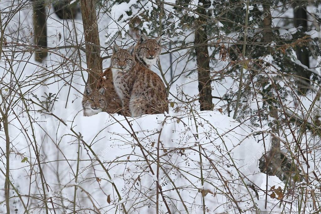 Euroasian lynx in the bavarian national park