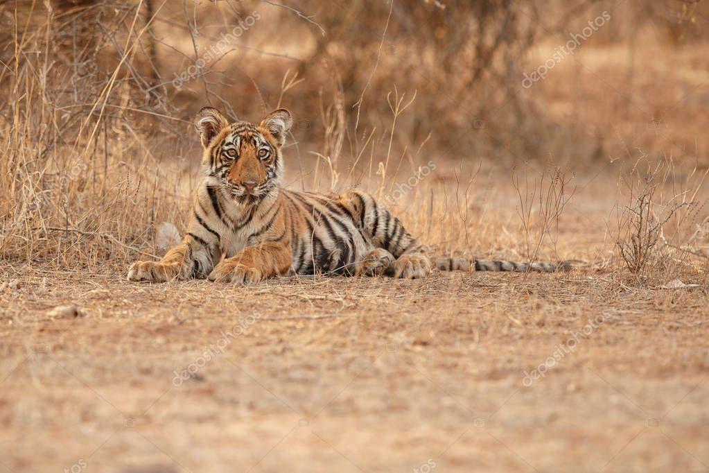 tiger in natural habitat