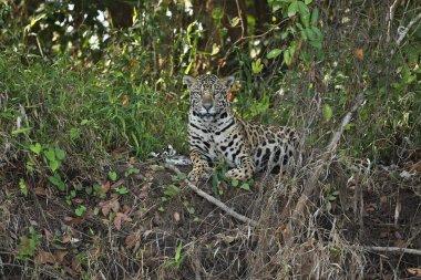 American jaguar female